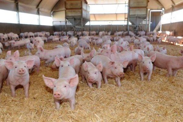 Зачем Радаеву столько свинины