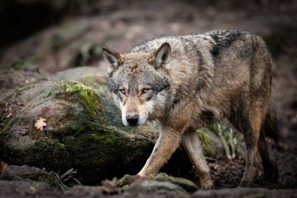 Чиновники пояснили ситуацию с волками в Саратовской области